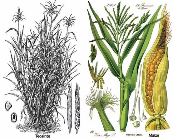 豆莢曾一度作為印第安人的主要糧食